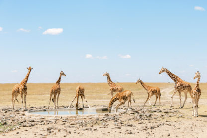 BEAUTI photography travel photographer Sweetwater Game Reserve Kenya Africa Giraffes at watering hole photo