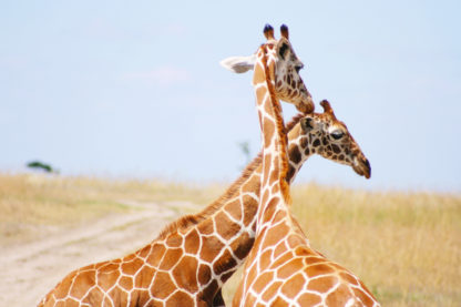 BEAUTI photography travel photographer Wall Art affectionate giraffes Sweetwater Game Reserve Kenya African safari
