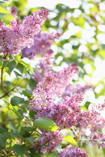 BEAUTI photography travel photographer Wall Art lilac blossoms Alberta