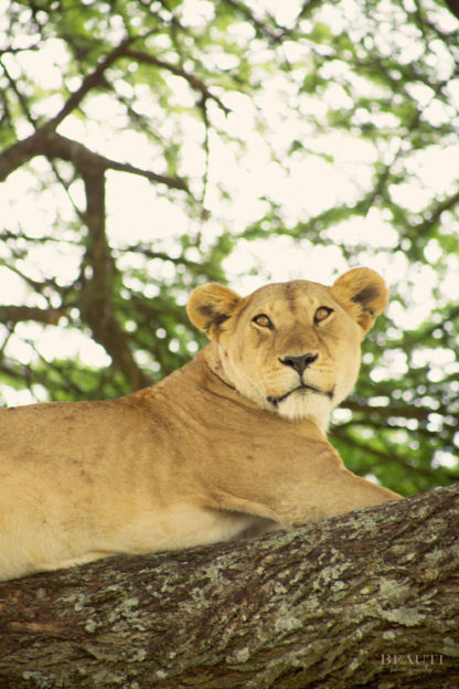 BEAUTI photography travel photographer Wall Art Serengeti National Park Tanzania Africa lion in tree