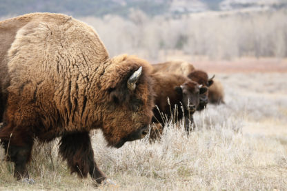 BEAUTI photography travel photographer Wall Art Roosevelt National Park North Dakota American bison