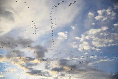 BEAUTI photography Saskatchewan photographer fall flyover geese migration