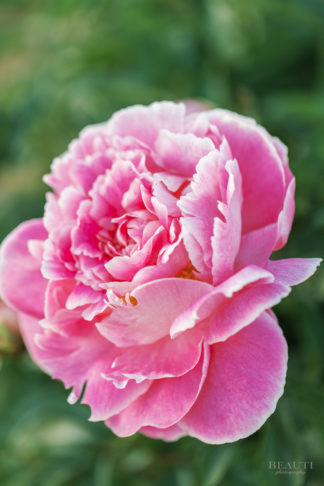 BEAUTI photography flower photography Saskatchewan pink garden peony