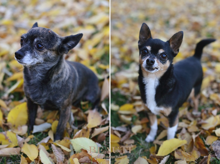 Weyburn portrait photography outdoor lifestyle photographer pet photography yellow fall leaves dogs photo