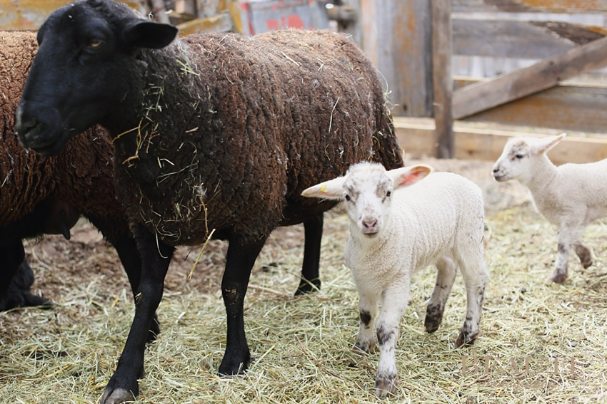 Tribune Saskatchewan farmstead raising sheep adorable baby lambs outdoor lifestyle photography farmyard happenings playful active lambs photo