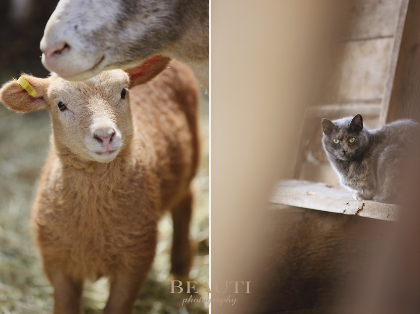 Tribune Saskatchewan farmstead raising sheep adorable baby lambs outdoor lifestyle photography farmyard happenings playful active lambs barncat photo