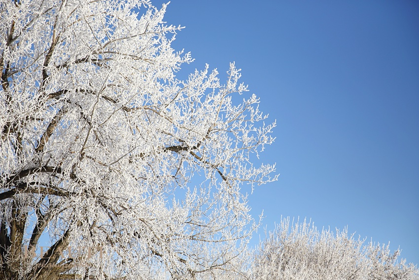 Tribune Saskatchewan lifestyle photographer outdoor winter frosty trees prairie winter scenery sunny blue skies winter solstice photo