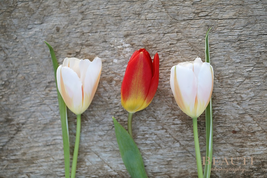 Tribune Saskatchewan outdoor lifestyle photographer first day of spring tulips happy spring flowers change of season photo