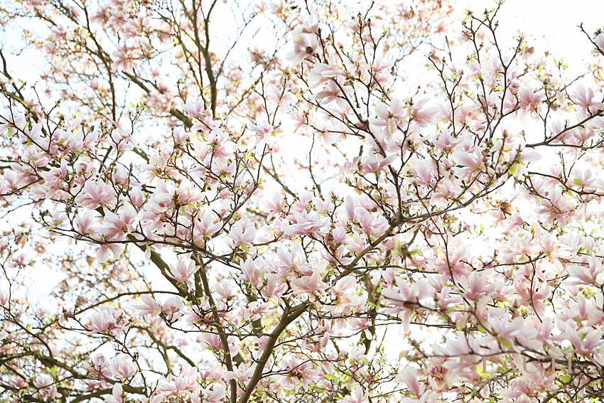 BEAUTI photography Prague Czech Republic spring blossoms happy first day of spring pink flowers blooming magnolia tree photo